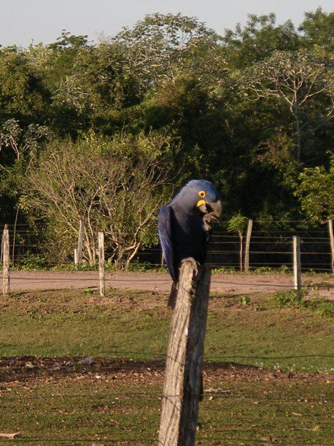 Pantanal_Papa