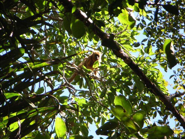 Pantanal_Affe